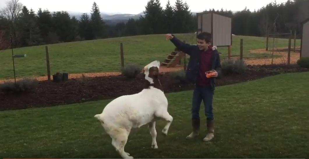 Boer Goat Tricks